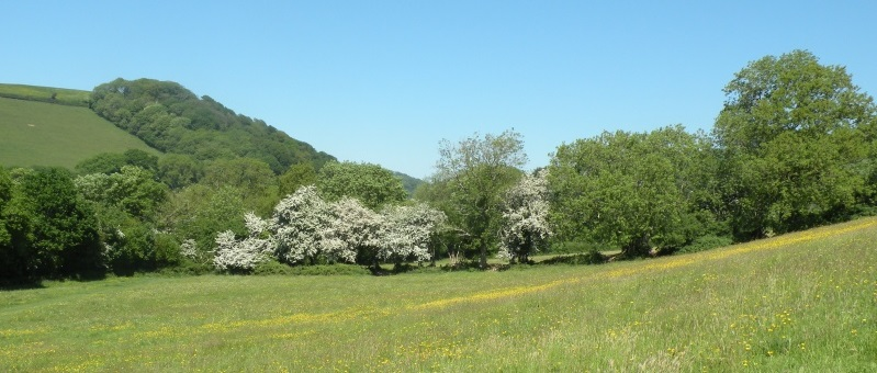 Buttercups and May Blossom in Manning's Pit,